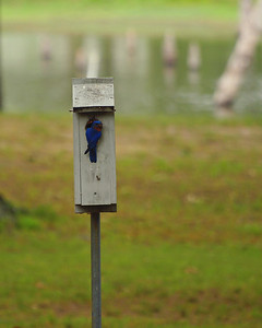Bluebird on House  Order Code: B18