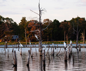 Flock of Egrets - Each night the egrets and herons gather on these stumps in Little Caney Creek Cove