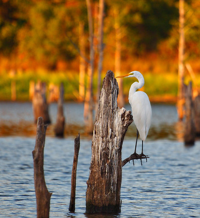 On a Limb - Great White Egret - Lake Fork, TexasOrder Code: A4