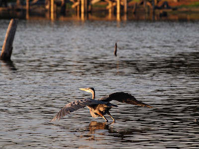 Take Off - Blue Heron - Lake Fork, Texas