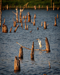 Balancing Act - Great White Egret - Lake Fork, Texas  Order Code: B42