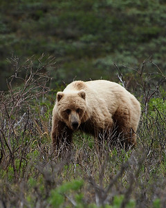 Grizzly Bear in Denali National Park  Order Code: B50