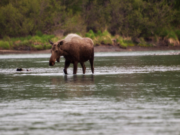Moose Crossing the Kasilof River.  What you can't see in this photo is that there were about 10 salmon fishing boats around here as well as dozens of fishermen on the shore.  She crossed the water and then shook off between two fishermen before entering the woods.Order Code: C12